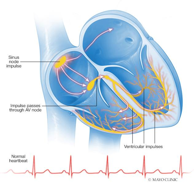 a medical illustration of a heart and demonstration of a normal heartbeat