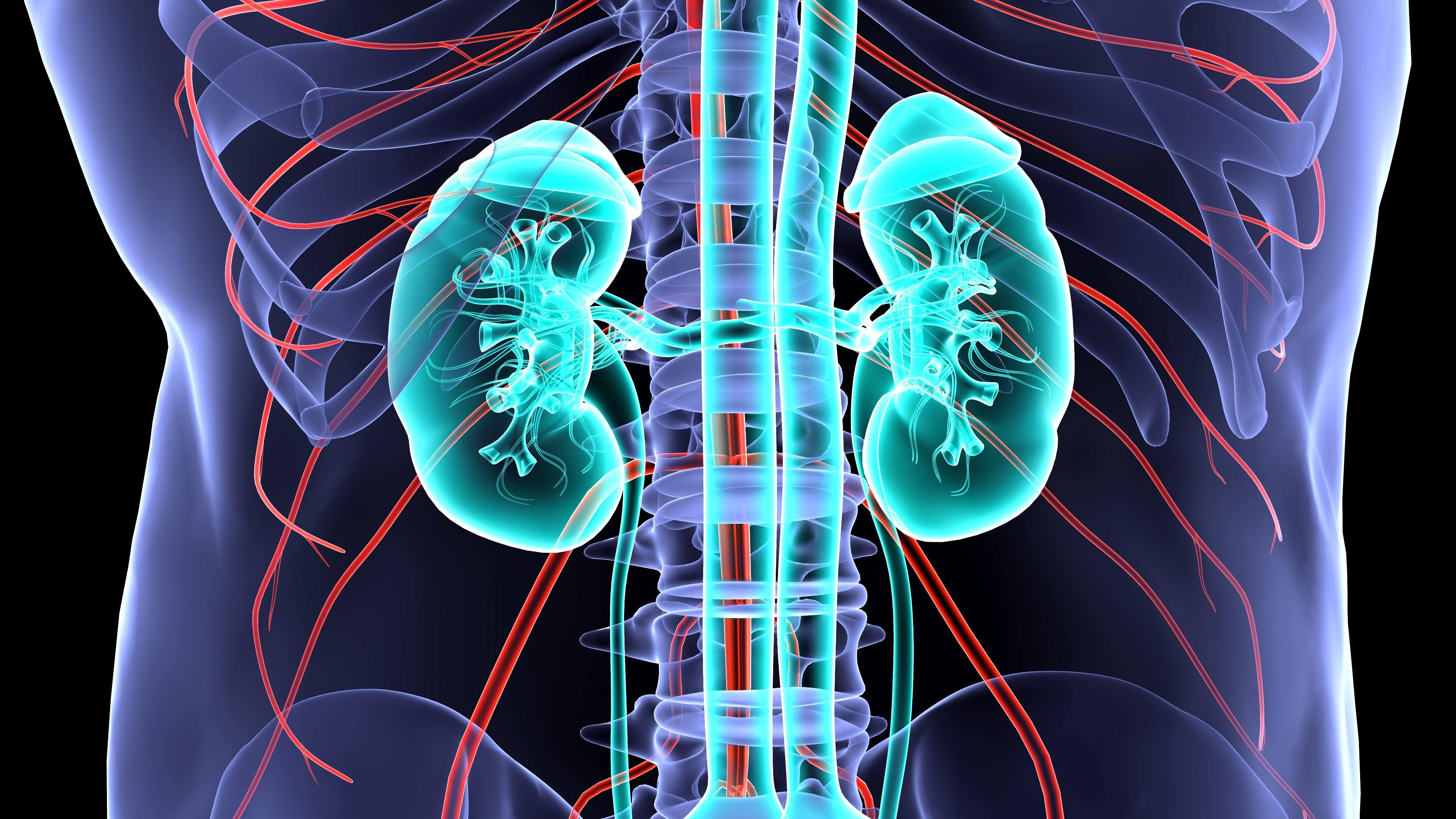 kidney anatomy.3d illustration