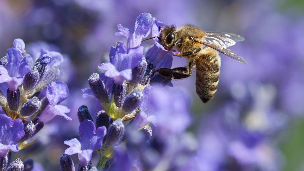 closeup of a bee getting nectar from a purple flower