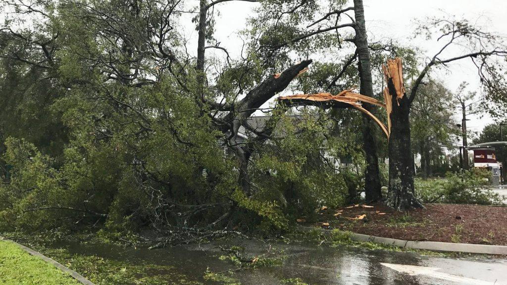 暴风雨后的一棵遭劈开且损毁的大树